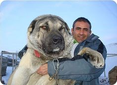 Alabai - Turkmen kind of breed Central Asian shepherd dog,