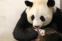 Depuis la naissance de Baby Panda, Pairi Daiza a pris l'excellente habitude, via sa page Facebook, de nous tenir au courant de son évolution. Ce mardi, pas de news. Juste quelques jolies photos...
