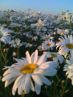 I Adore daisies! Daisy fields, my absolute favorites Daisies are underrated It's a happy flower. pin x noellemnguyen