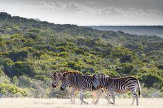 Zebra family walking together to the dam Zebra family walking together to the dam on a cloudy day.