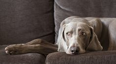 """Weimaraner""...the color you get when you mix all the other colors together."