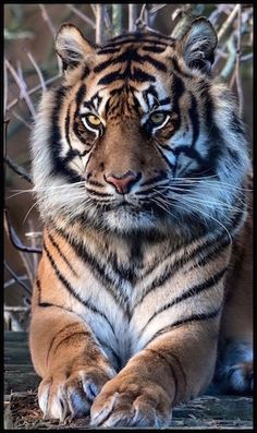 Wonderful Free of Charge Bengal Cats big Strategies Initial, when it concerns just what is in reality a Bengal cat. Bengal cats and kittens really are a pedigree . Big Animals, Majestic Animals, Animals And Pets, Siberian Tiger, Bengal Tiger, Bengal Cats, Beautiful Cats, Animals Beautiful, Beautiful Pictures