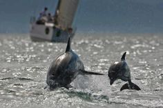 Dolphins escort a Sailboat