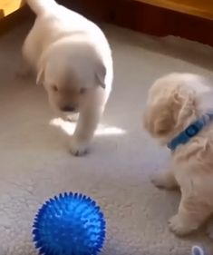 Walking potato ♥ - Cute dogs and puppies - Cute Funny Animals, Cute Baby Animals, Funny Dogs, Animals And Pets, Cute Animal Videos, Funny Animal Pictures, Baby Witze, Beautiful Dogs, Animals Beautiful