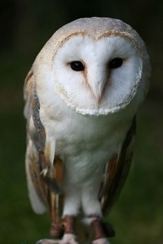 The Owl is at home in the night. It has great awareness of all that is around it at all times. It has predator vision, which means it sees clearly what it looks at. It has great intuition: it is the totem of psychics and clairvoyants. It has the courage to follow its instincts.