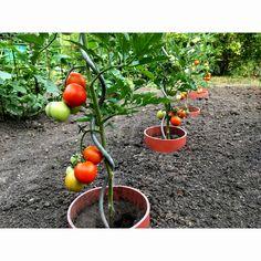 AK NAŠE ŠPIRÁLY NESTRATÍTE, ALEBO VÁM ICH NEUKRADNÚ, BUDÚ ICH SPOKOJNE POUŽÍVAŤ AJ VAŠE VNÚČATÁ.  Špirálová tyč je vyrobená, zo silne žiarovo pozinkovaného drôtu a je trvalo chránená proti hrdzaveniu. Sila použitého materiálu zaručuje pevnú oporu pre pestované rastliny. Tyče sú aj po rokoch používania rovné, neohýbajú sa. Jedinou zmenou oproti novej špirále je, že zinok postupom času prirodzene zmatnie. Vegetables, Food, Meal, Essen, Vegetable Recipes, Hoods, Meals, Eten