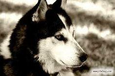 huskies:  preciosos