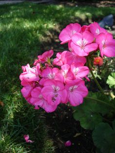 Front Porch Inspiration:  Geraniums.  Would you believe me if I told you this blogger dug up her geraniums at the end of summer, put them in brown paper bags in the garage all winter and then replanted in Spring?  And they survived ... and thrived!
