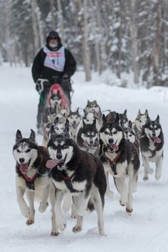 #sport Sled Dog Race by TroyEcol #picture http://ift.tt/2j8Uys9