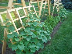 Cucumber trellis - keeps the cucumbers off the ground, cuts down on possibility of disease and provides shade for more heat sensitive plants