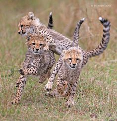 Cheetah run by Stephen Earle