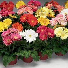 'Jaguar Formula Mix' Gerber Daisy  Reblooming plant in a mix of bright colors.