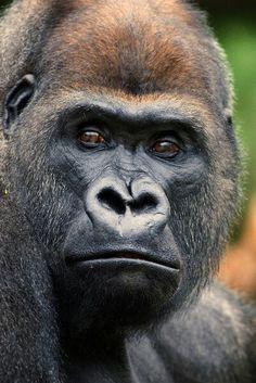 Mountain gorillas....880 estimated left in the wild.......tick tock, tick tock...
