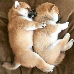 Shiba puppies spooning ❤