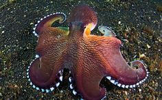 To many, Amphioctopus marginatus looks like a mouthful of sashimi. To protect itself, it acts like an octopus. As one does.
