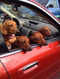 Dachshund family traveling around enjoying the view..Nice to see the family out for a sunday drive..great travel dogs