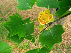 Little Volunteer Dwarf Tulip Poplar (Liriodendron tulipifera 'Little Volunteer'). Dwarf cultivar of our native Tulip Poplar. Tidy, upright habit and fast growth rate to tall and wide. Spring flowers and distinct leaf shape. Deciduous Trees, Trees And Shrubs, Tulips Flowers, Yellow Flowers, Large Flowers, Spring Flowers, Tulip Poplar Tree, Fast Growing Trees, Clay Soil