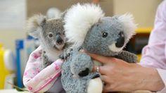 #Un peluche, consuelo para un koala huérfano - Clarín.com: Clarín.com Un peluche, consuelo para un koala huérfano Clarín.com Su mamá murió…