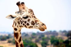 Giraffe, spot, neck and wild HD photo by Juan Gaspar de Alba ( on Unsplash Wild Animals Pictures, Animals Images, Animal Pictures, Funny Animals, Cute Animals, Pictures Images, Wild Life, Wildlife Photography, Animal Photography