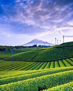 Green tea plantation and Mt. Fuji, Japan: photo by 鈴木史和