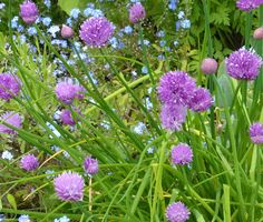 Chives great for cooking but a lovely border plant as well Border Plants, Growing Herbs, Fresh Herbs, Cooking, Kitchen, Brewing, Cuisine, Cook