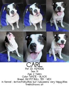 CARL  Pet ID: A1240526  Sex: N Age: 2 Years  Color: WHITE - BLACK  Breed: AM PIT BULL TER - MIX  Kennel: 292 in kennel, active,frisky,likes but rubs,seems very happy,likes treats,knows sit OC Animal Care 714-935-6848 561 The City Drive South Orange, CA 92868 Map  Hours of Operations: Sunday through Saturday - 10:00 AM to 5:00 PM. We are open until 7:00 PM on Wednesdays. Closed Holidays