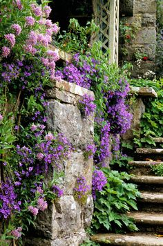 Rose terrace with Campanula poscharskyana growing in stone cracks and crevices. flowers & gardens