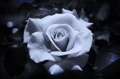 rose images black and white | Rose - Black and White by GothicRose83 on deviantART
