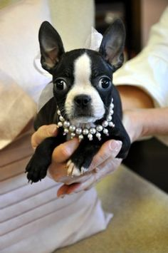 Boston Terrier Puppy if and when we ever get a dog again it will look like this.  I had one just like it as my first dog.  She was a retired show dog and the best friend ever.