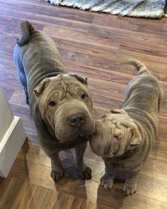 Good morning world! #dylanthesharpei #darcythesharpei #sharpeisofinstagram #sharpeilove #sharpeipuppy #sharpei #dog #dogs #puppy #puppylove #rolls #love #dogoftheday #morning #happy