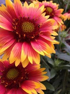 Blanket flower, Indian blanket, firewheel zones 3 to in well-drained soil Drought tolerant once established Partial shade to full sun Up to 2 feet tall and wide Native; attracts birds, bees and butterflies; blooms throughout the year. Container Gardening Vegetables, Container Plants, Garden Shrubs, Garden Plants, Indian Blanket Flower, Short Plants, Drought Tolerant Landscape, Full Sun Plants, Caran D'ache