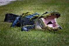Mossy Gator