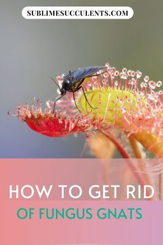 How to Get Rid of Fungus Gnats Flowering Succulents, Cacti And Succulents, Cactus Plants, Succulent Planter Diy, Succulent Care, Gnats In House Plants, How To Get Rid Of Gnats, Succulent Species, Decorative Gravel