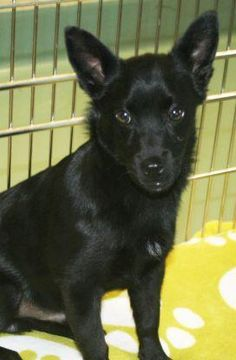 ADOPTED! Meet Munchkin a Petfinder adoptable Schipperke Dog | Irving, TX | Munchkin is about 4 months old and was rescued from another shelter. Munchkin is very friendly and...