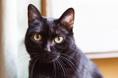 Are Black Cats Really Unlucky?: How did black cats become associated with bad luck, and with Halloween traditions?