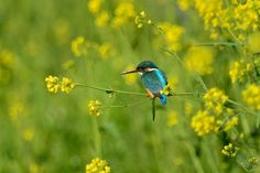 Kingfisher in Yellow by Mubi.A