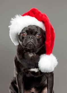 Pugs Merry Christmas Card #pug  Puppy Holiday Dogs Santa Claus Dog Puppies
