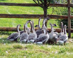 These heritage goose and duck breeds will benefit you and your farm.