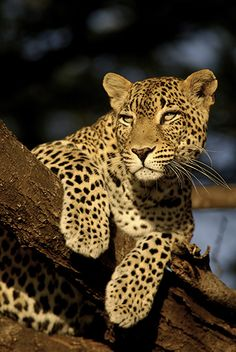 The very shy leopard