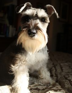 miniature schnauzer I will have another one day!