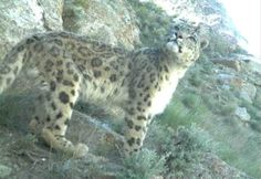 Photos: snow leopard in Afghanistan