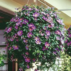 Clematis in hanging basket. I never thought about using Clematis in a basket, good idea. I wonder about winter care Garden Shrubs, Garden Planters, Lawn And Garden, Fall Planters, Garden Basket, Spring Garden, Container Design, Container Plants, Container Gardening