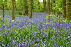 English bluebells (Hyacinthoides non-scripta English Bluebells, Countryside Landscape, Protected Species, Woodland Garden, Yorkshire Dales, Great Britain, The Good Place, Nature, Plants