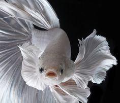 Some interesting betta fish facts. Betta fish are small fresh water fish that are part of the Osphronemidae family. Betta fish come in about 65 species too! Pretty Fish, Beautiful Fish, Colorful Fish, Tropical Fish, Freshwater Aquarium, Aquarium Fish, Wildlife Photography, Animal Photography, Poisson Combatant