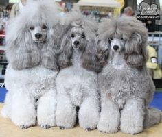 The BEAUTIFUL GREY OF MARYSA #GreyPoodle