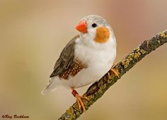 Zebra Finch  had a family of these....they were fun to watch and educational