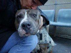 SAFE - URGENT - Manhattan Center    PRANCER - A0988179   FEMALE, BR BRINDLE / WHITE, PIT BULL MIX, 3 yrs  STRAY - STRAY WAIT, NO HOLD Reason STRAY  Intake condition NONE Intake Date 12/26/2013, From NY 10457, DueOut Date 12/29/2013, I came in with Group/Litter #K13-163989 ORIGINAL THREAD: https://www.facebook.com/photo.php?fbid=731741130172102&set=a.617938651552351.1073741868.152876678058553&type=3&permPage=1