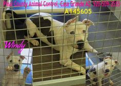 GIVEN REPRIEVE BUT STILL IN DANGER!!  This DOG - ID#A145605 INJURED Injured to left ear. Wound on top of back. Due Out Date: 08/10/2013 I am a female, white and black Pit Bull Terrier.  The shelter staff think I am about 10 Months old.  I have been at the shelter since Aug 06, 2013.  Pinal County Animal Control 1150 S Eleven Mile Corner Rd Casa Grande, AZ 85122 520-509-3555  https://www.facebook.com/photo.php?fbid=396337777135169=a.358530097582604.1073741831.120830141352602=1=nf