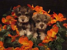 Miniature Schnauzer Puppies, Schnauzer Puppies For Sale - Bay Area Schnauzers - Hollister, Ca