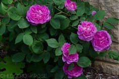 Reine des Violettes - Hybrid Perpetual: Highly scented, repeat blooming.   Types of Roses   Hedgerow Rose